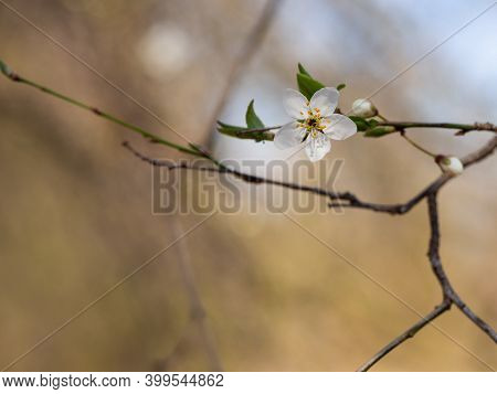 Tree Blooming In Spring, White Blossom, Beautiful Flower