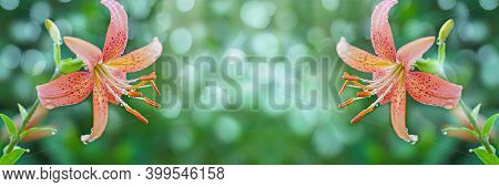 Unfocused, Spring Floral Wide Banner With Blooming Orange Lilies In Dewdrops. Art Design, Banner