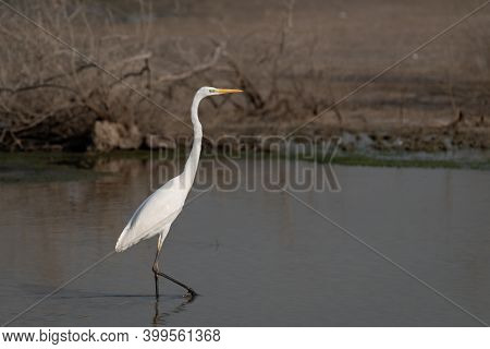 A Beautiful Lone Great Egret (ardea Alba), Also Known As The Common Egret, Large Egret, Great White