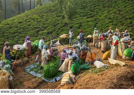 Munnar, India - January 28, 2020: Indian women tea pickers sort out their sacks with tea leaves at the end of the working day at the Munnar tea plantations, Kerala, India.