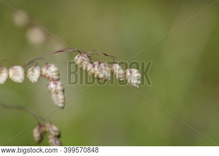 Dry Common Quaking Grass - Latin Name - Briza Media