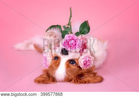Little Puppy Cavalier King Charles Spaniel With Roses. Lying On His Back, Playing.