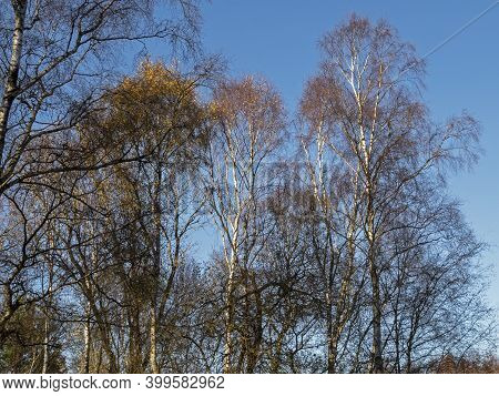 Stark Silver Birch Trees With The Last Few Winter Leaves In Sunlight At Skipwith Common National Nat
