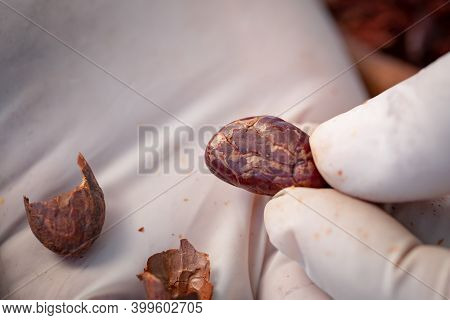 Man Holding Cocoa Shell Out Of Cocoa Roasted For Making A Cocoa Nib And Hot Cocoa And Chocolate. Sel