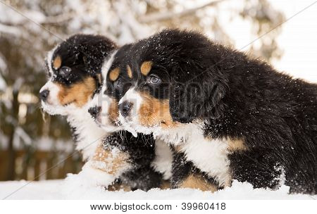 Bernese Mountain Dog Puppets Ready Play Game