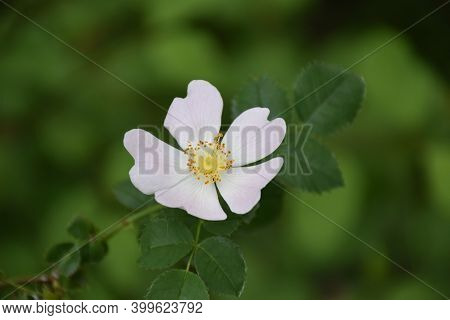 White Flower Of Wild Rose (rosa Canina). In Charlemagne's Time It Was Listed As A Plant With Medicin