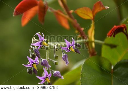 Purple And Yellow Flowers Of Devil's Grapes (solanum Dulcamara), Growing Next To A Rose Bush In Gard