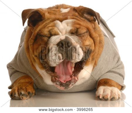 Bulldog Laughing