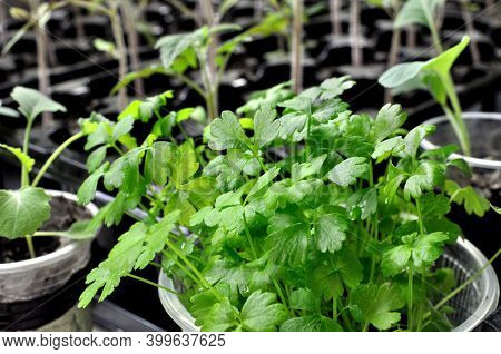 Close-up Of Young Celery  Seedlings In The Greenhouse Ready For Planting In The Vegetable Garden