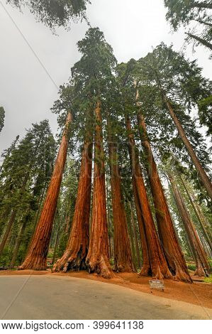 Giant Sequoias (sequoiadendron Giganteum) A Part Of The Parker Group In Sequoia National Park, Calif