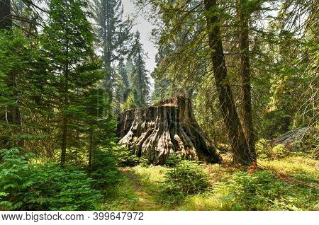 Big Stump Grove In Sequoia And Kings Canyon National Park In California.