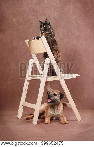 Tortoiseshell Trained Maine Coon Cat Upright On Folding Wooden Chair With Obedient Tan Border Terrie