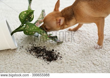 Adorable Chihuahua Dog Near Overturned Houseplant On Carpet Indoors