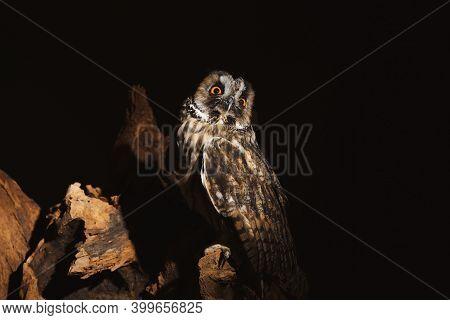 Beautiful Eagle Owl On Tree Against Black Background. Predatory Bird