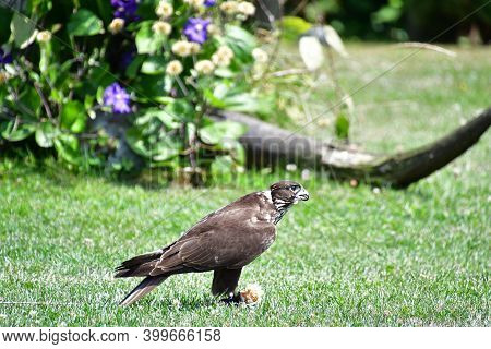 A Picture Of Peregrine Perching On The Ground.      Bc Canada