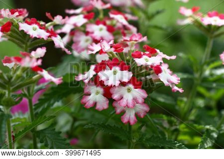 Red, White And Pink Colors On Petals. Bright Flowers Of A Verbena On A Green Background Of Leaves.