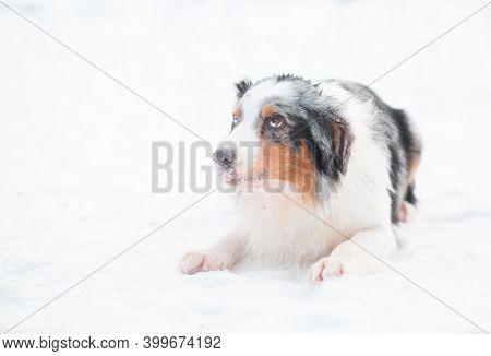 Australian Shepherd Lying And Devotedly Looking In Winter Forest.