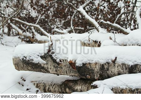 Sawed Birch Trees Under A Layer Of Snow, Preparation Of Firewood, Daylight, Close-up. Stock Photo Wi