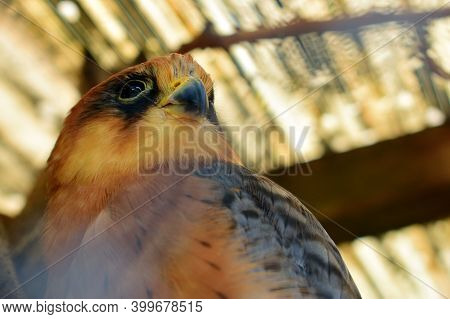 Beautiful Bird Of Prey Close Up. Close-up Portrait Of Common Kestrel Falco Tinnunculus, Isolated On