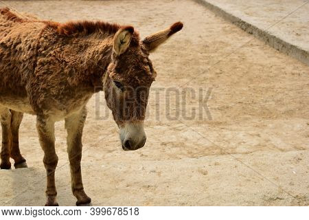 Small Brown Donkey With Big Ears. Close Up Photo Of A Donkey. A Very Common Farm Animal. Strong, Per
