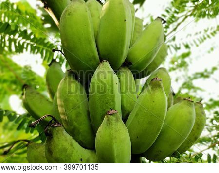 Banana Tree With Bunch Of Raw Green Bananas And Banana Green Leaves. Cultivated Banana Plantation. T