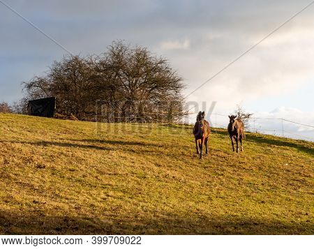 Couple Of Horses Grazing In Paddock, Autumn Light