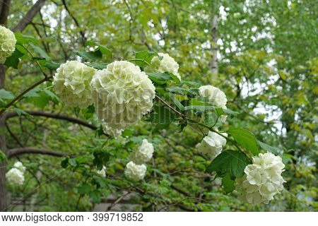 Twig Of Viburnum Opulus Sterile With White Flowers In May