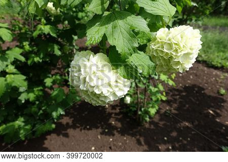 Two White Inflorescences Of Viburnum Opulus Sterile In May