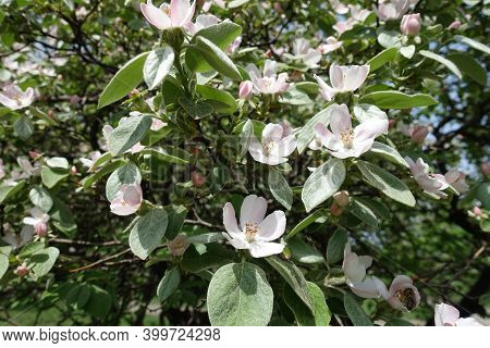 Numerous Pinkish White Flowers In The Leafage Of Quince Tree In May