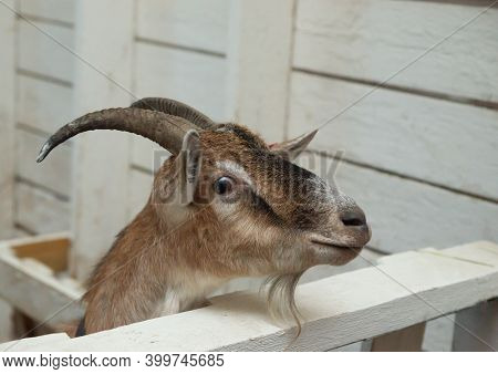 Brown Goat In Barn. Domestic Dwarf Goat In The Farm.