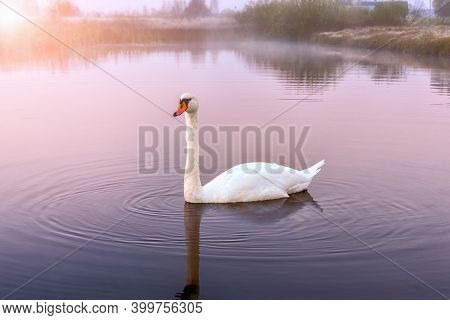 Beautiful White Swan In The Foggy Lake In The Morning.