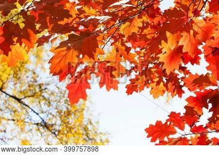 Autumn Leaves Background. Red Oak Tree Branch With Colorful Yellow Orange Brown Leaves. Beautiful Fo