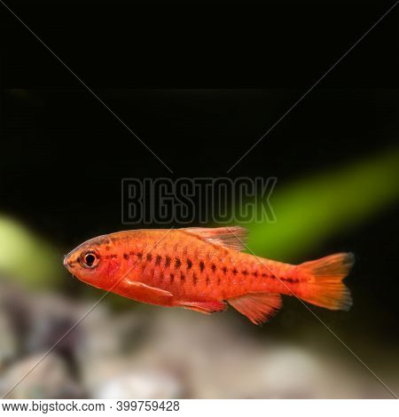 Aquarium Fish Red Barb Puntius Titteya On Black Background. Shallow Depth Of Field. Copy Space. Sele