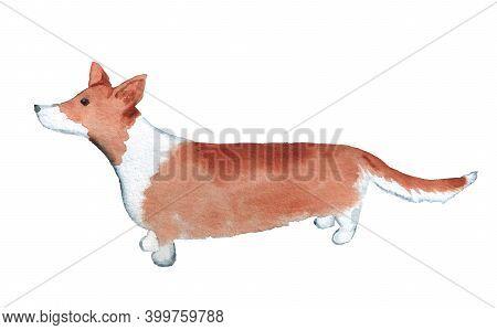 Watercolor Image Of Welsh Corgi. Hand Drawn Illustration Of Dog Isolated On White Background.