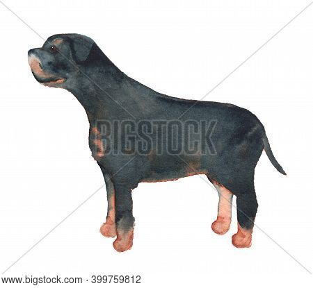 Watercolor Image Of Rottweiler. Hand Drawn Illustration Of Dog Isolated On White Background.