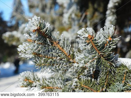 A Close-up Of A Blue Spruce Branch With Needles Covered With White Snow And Hoar Frost. Winter Frost