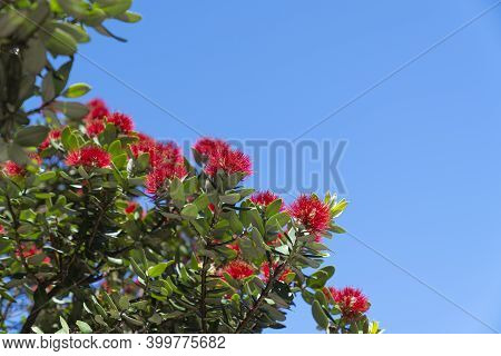 Brilliant Red Pohutukawa Bloom On Base Of Mount Maunganui, Against Blue Sky.