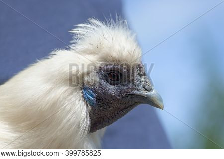 2 - Super Close Up Macro Portrait Of The Face Of A White Silkie Chicken. Detail Of Hard Wrinkly Skin