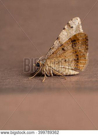 Adult Geometer Moth Of The Tribe Macariini