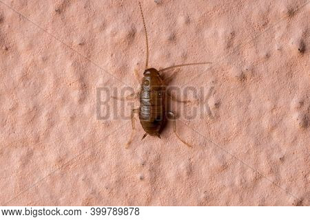 Small Cockroach Nymph Of The Order Blattodea
