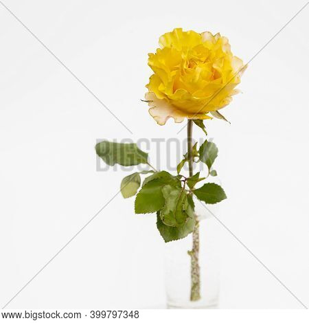 One Orange Rose Candlelight On White Background. Copy Space. Square Frame