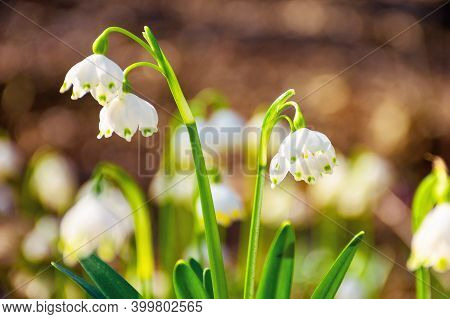 Tender Summer Snowflake Flower Close Up. Beautiful Nature Background In Springtime On A Sunny Weathe