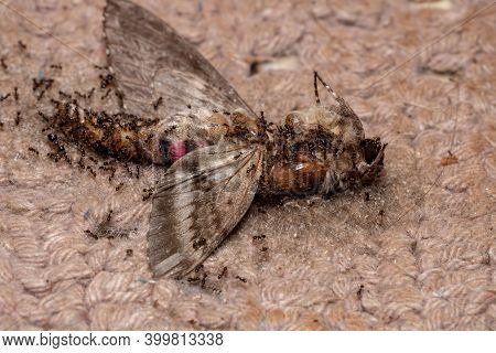 Big-headed Ants Eating A Dead Pink-spotted Hawk Moth