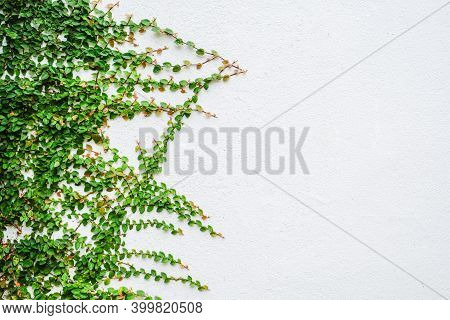 Ivy Plant Leaves Growth And Climbing On Isolated White Wall Background.
