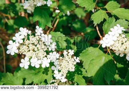 Viburnum Blooms. Viburnum Branches With White Flowers. Green Spring And Summer Blurred Background.