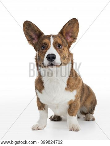 Dog Welsh Corgi Kargigan On A White Background. Happy Pet