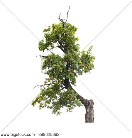 Oak Tree With Green And Yellow Leaves Isolated On White Background