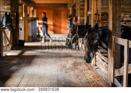 The Stable Girl Came To The Stable To Feed The Horses, They Are Waiting.