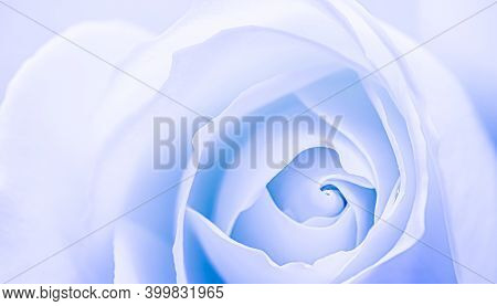 Abstract Floral Background, White Blue Rose Flower Petals. Macro Flowers Backdrop For Holiday Design