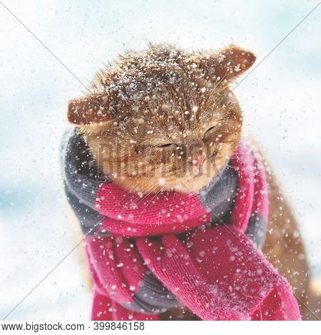Portrait Of A Ginger Kitten Wearing A Knitted Scarf. Kitten Sitting In Snowy Winter At Blizzard